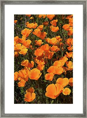 Framed Print featuring the photograph Poppy Superbloom Close Up by Cliff Wassmann
