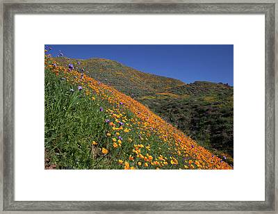 Framed Print featuring the photograph Poppy Superbloom On Hillside by Cliff Wassmann