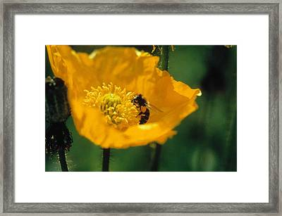 Poppy With Bee Friend Framed Print by Laurie Paci