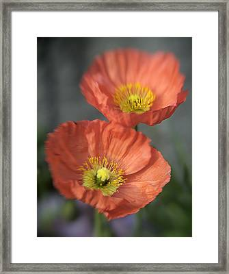 Poppys Framed Print by Barry Culling