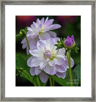 Porcelain Dahlia With Dewdrops Framed Print