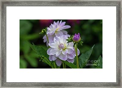 Porcelain Dahlias 2 Framed Print