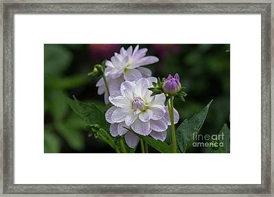 Porcelain Dahlias Framed Print