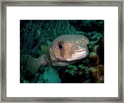 Porcupine Fish Framed Print by Jean Noren