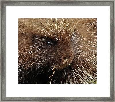 Framed Print featuring the photograph Porcupine by Glenn Gordon