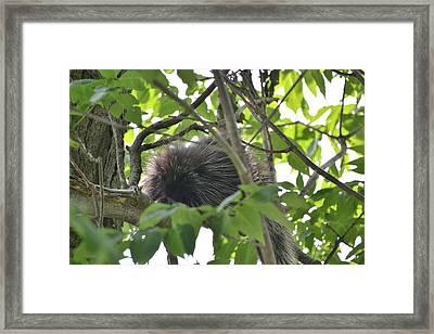 Porcupine Framed Print