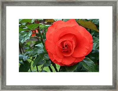 Portland Rose Garden Framed Print by Margaret Hood