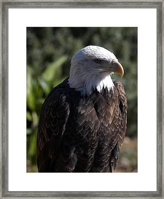 Portrait Bald Eagle  Framed Print