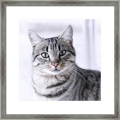 Portrait Gray Tabby Cat Framed Print by Maika 777