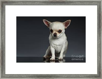 Portrait Little Chihuahua Dog Sitting On Dark Backgroun Framed Print by Sergey Taran