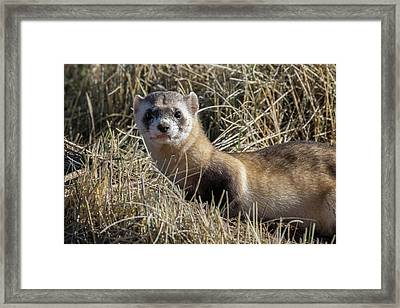 Portrait Of A Black-footed Ferret Framed Print by Tony Hake