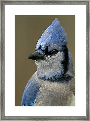 Portrait Of A Bluejay Framed Print