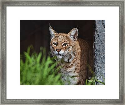 Portrait Of A Bobcat II Framed Print by Jim Fitzpatrick