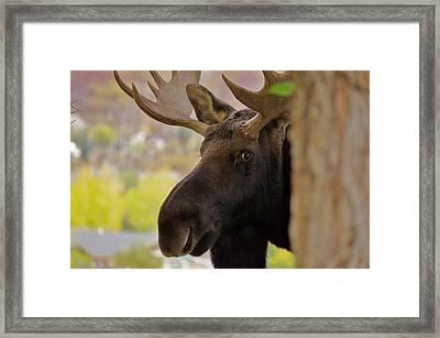 Portrait Of A Bull Moose Framed Print