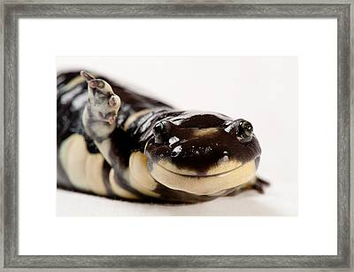 Portrait Of A California Tiger Framed Print by Joel Sartore