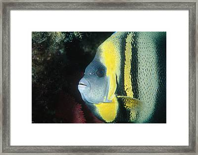Portrait Of A Cortez Angelfish Framed Print by James Forte