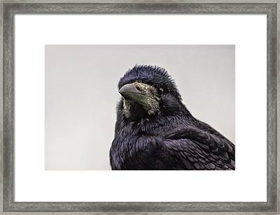 Portrait Of A Crow Framed Print