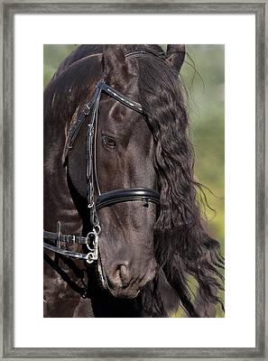 Portrait Of A Friesian Framed Print by Wes and Dotty Weber