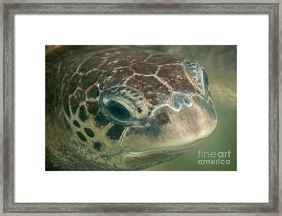 Portrait Of A Green Sea Turtle Framed Print by Jacques Jacobsz