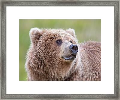 Portrait Of A Grizzly Framed Print by Richard Garvey-Williams
