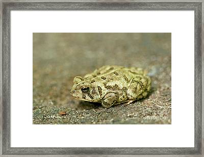 Portrait Of A Grumpy Toad - Fowler's Toad Framed Print by Jane Eleanor Nicholas