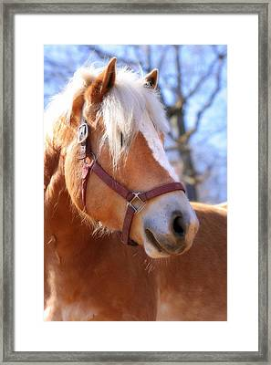 Portrait Of A Haflinger - Niko Framed Print by Angela Rath
