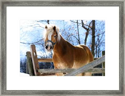 Portrait Of A Haflinger - Niko In Winter Framed Print by Angela Rath