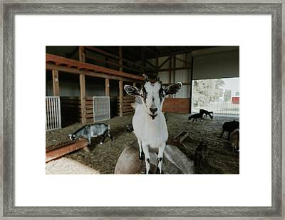 Portrait Of A Happy Goat Framed Print