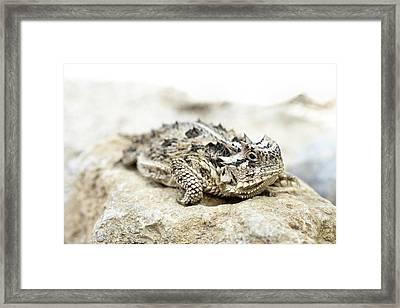 Portrait Of A Horned Lizard Framed Print by JC Findley
