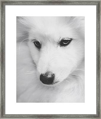 Portrait Of A Japanese Spitz Framed Print by Wolf Shadow  Photography