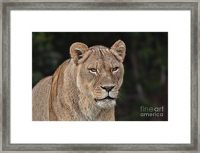 Portrait Of A Lioness II Framed Print by Jim Fitzpatrick