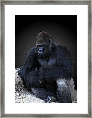 Portrait Of A Male Gorilla Framed Print