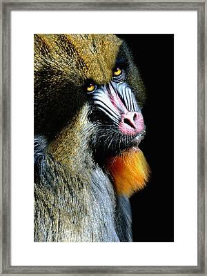 Portrait Of A Mandrill Framed Print