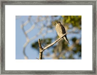 Portrait Of A Merlin Falco Columbarius Framed Print by Tim Laman