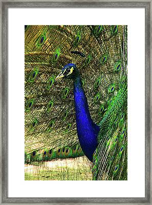 Framed Print featuring the photograph Portrait Of A Peacock by Jessica Brawley