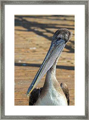 Portrait Of A Pelican On The Pier Framed Print