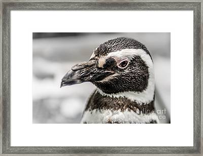 Portrait Of A Penguin Framed Print by Tamyra Ayles