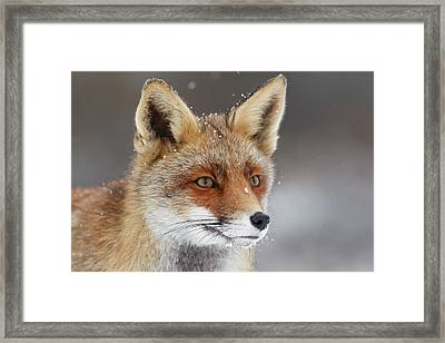 Portrait Of A Red Fox In The Snow Framed Print by Roeselien Raimond