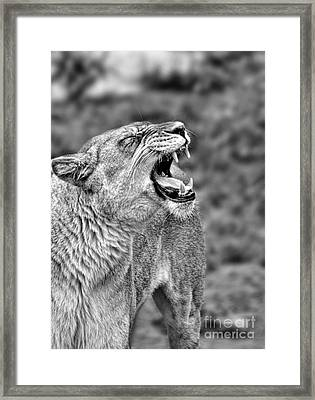 Portrait Of A Roaring Lioness II Framed Print by Jim Fitzpatrick