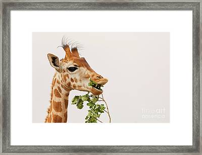 Framed Print featuring the photograph Portrait Of A Rothschild Giraffe IIi by Nick Biemans