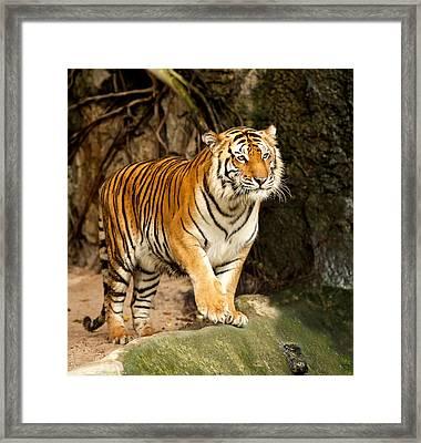 Portrait Of A Royal Bengal Tiger Framed Print