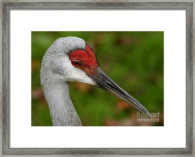 Portrait Of A Sandhill Crane Framed Print