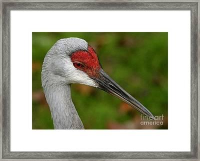 Portrait Of A Sandhill Crane Framed Print