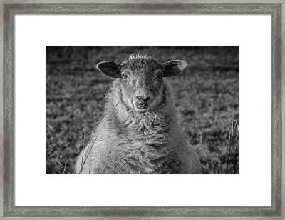 Portrait Of A Sheep Framed Print by Chris Fletcher