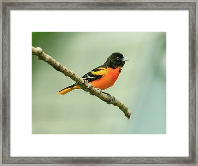 Portrait Of A Singing Baltimore Oriole Framed Print