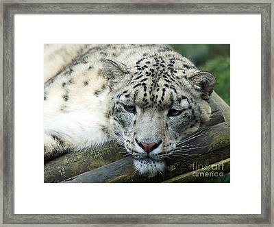Portrait Of A Snow Leopard Framed Print