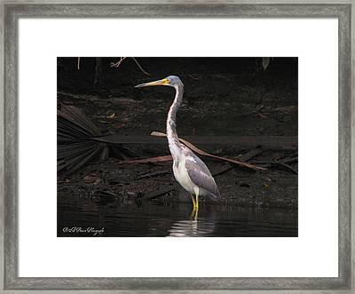 Portrait Of A Tri-colored Heron Framed Print by Barbara Bowen