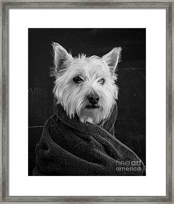 Framed Print featuring the photograph Portrait Of A Westie Dog 8x10 Ratio by Edward Fielding