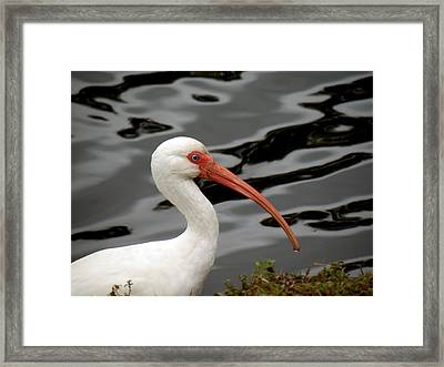 Portrait Of A White Ibis Framed Print by Rosalie Scanlon