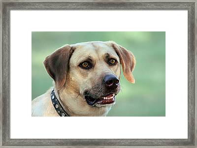 Portrait Of A Yellow Labrador Retriever Framed Print